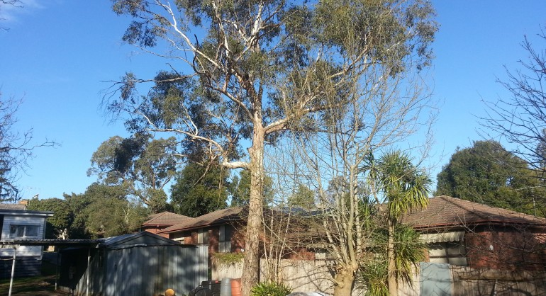 Swamp Gum located at the rear of the property
