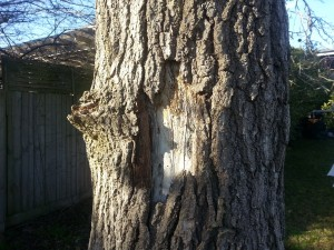 Bark is coming away, revealing borer holes and damage to the tree.