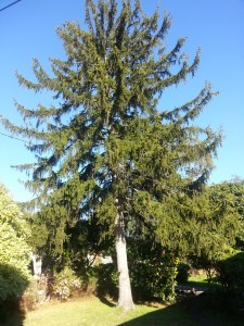 Deodar is an exotic conifer
