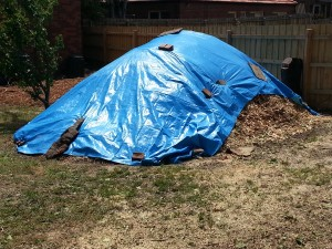 Covered the mulch pile with tarpaulins to cook the ivy fragments