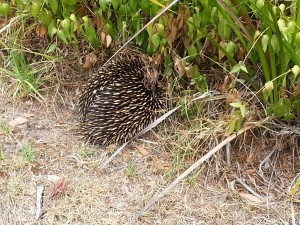 Echidna getting away from us
