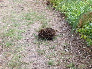 Echidna reappears from the bushes