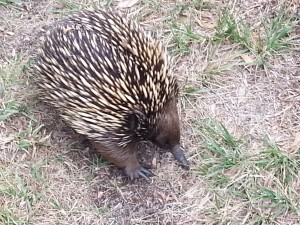 Echidna walking right past my foot
