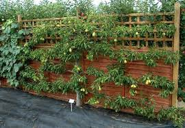 Espaliered fruit trees save space and provide home grown fruit